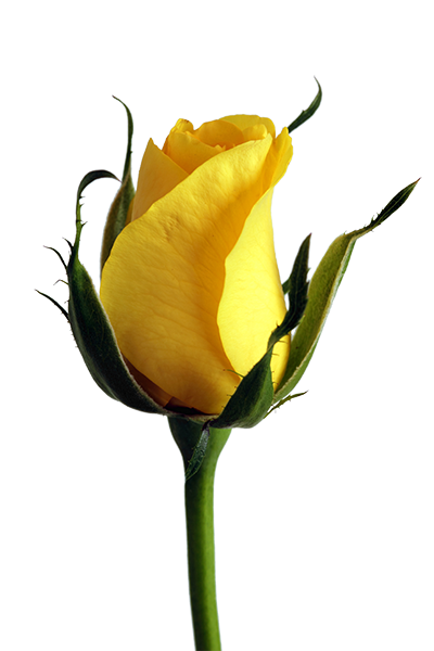 This example finds all transparent pixels in a PNG photo of a yellow rose and makes the PNG opaque by replacing these transparent regions with a light blue color.